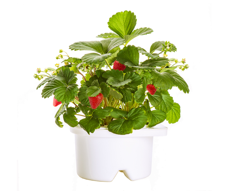 Click & Grow Refill Strawberry White