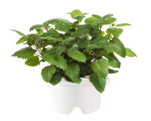 Click & Grow Refill Lemon Balm White