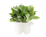 Click & Grow Refill Lambs Ear White