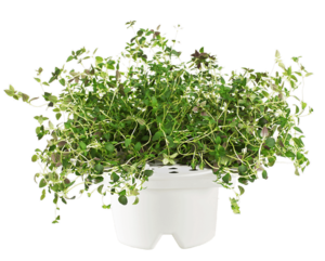 Click & Grow Refill Thyme White